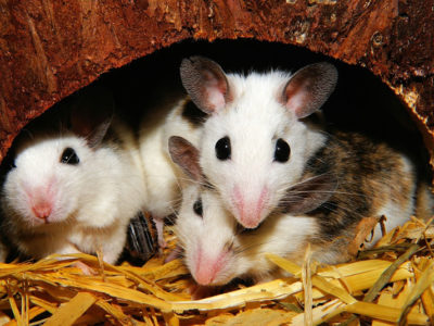 How to Detect a Rodent Infestation and What to Do About It